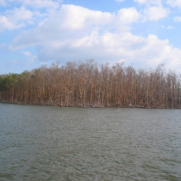 Mangrove forest in Shark River damaged by Hurricane Wilma