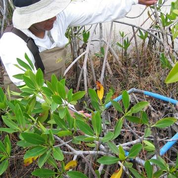 Carlos Coronado-Molina sampling dead wood in dwarf mangroves at TS/Ph-6b in Taylor Slough