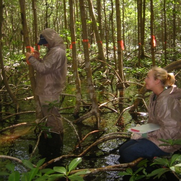 Left to right: Gustavo Rubio and Melissa Romigh measuring diameter at breast height (DBH) of mangrove trees at SRS-6 in Shark River Slough