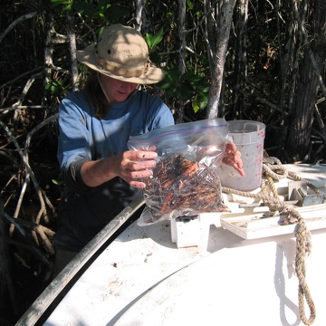 Nicole Poret weighing mangrove fine roots to set up a decomposition experiment at SRS-6 in Shark River Slough