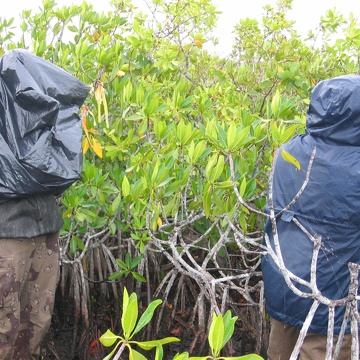 Left to right: Nicole Poret and Edward Castaneda measuring mangrove leaf turnover at TS/Ph-8