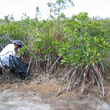 Carlos Coronado-Molina measuring dead wood biomass in dwarf mangroves at TS/Ph-6b in Taylor Slough