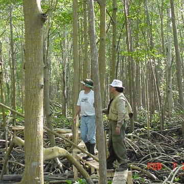 Left to right: Roger Holland and Victor H. Rivera-Monroy. Constructing board walk in mangrove forest at SRS-6 in Shark River Slough
