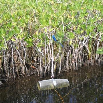 Minnow trap sampling at North River