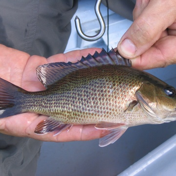 Mangrove Snapper at Rookery Branch