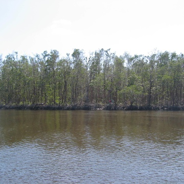 Fringe mangrove forest at SRS-6 in Shark River showing defoliation by Hurricane Wilma