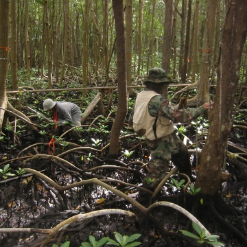 Sharon Ewe and Edward Castaneda measuring mangrove seedlings along transects at SRS-6 in Shark River
