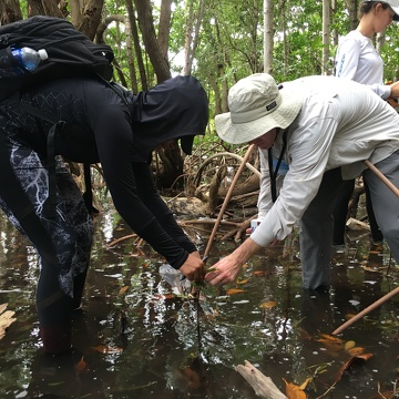 Dr. John Kominoski and Priscilla Brown (FIU Teach Undergraduate) collecting mangrove leaves from seedling mangrove trees in Biscayne National Park.