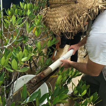 Sean Charles measuring a soil core in dwarf mangroves in Biscayne National Park.