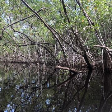 Mangroves along Taylor River