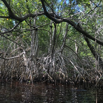 Mangroves along Taylor River