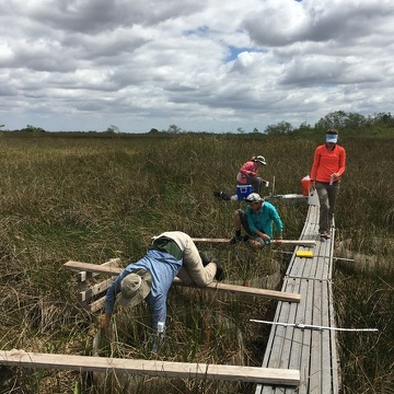 Researcher collect measurements from a freshwater marsh following an experimental addition of saltwater