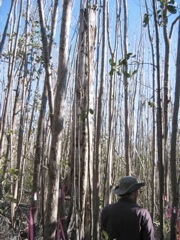 Mike Ross inspecting mangrove tree canopy damage in Harney River after Hurricane Wilma