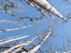 Mangrove forest canopy in Harney River damaged by Hurricane Wilma
