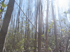 Mangrove forest canopy at SRS-6 in Shark River Slough damaged by Hurricane Wilma