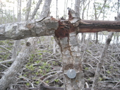 Tagged tree at SRS-6 in Shark River Slough damaged by Hurricane Wilma