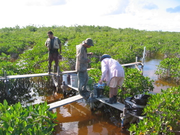 Left to right: Edward Castaneda, Calvin Liu, Steve Davis retrieve buckets filled with Florida Bay sediment to initiate fertilization experiment in dwarf mangrove forests near TS/Ph-6b in Taylor Slough