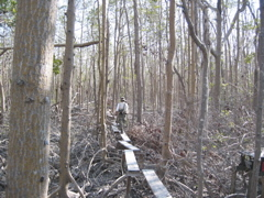 Boardwalk and trees damaged by Hurricane Wilma at SRS-6 in Shark River Slough